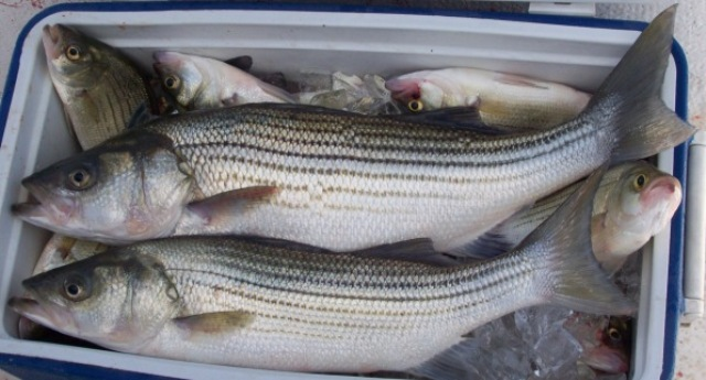 white and striped bass